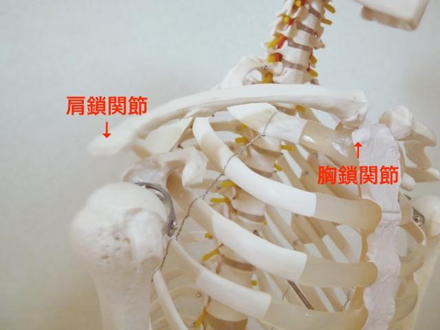 肩鎖関節、胸鎖関節
