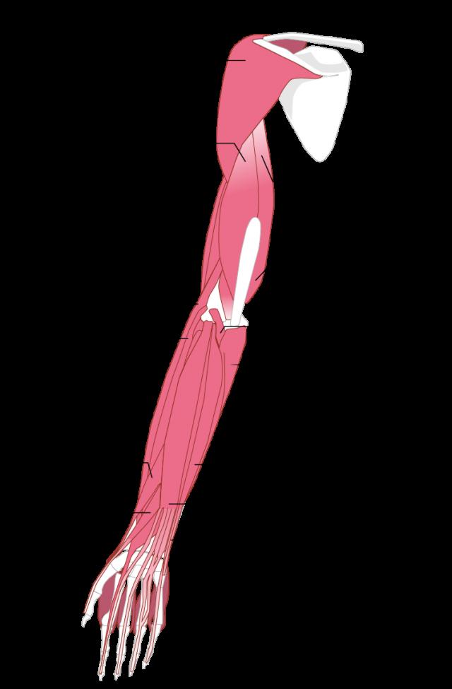 上肢 筋肉